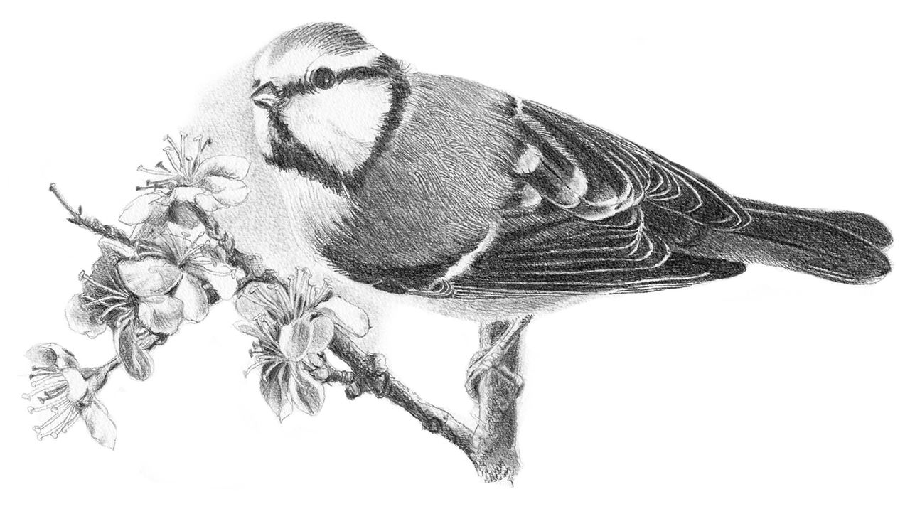 drawing of a tit - used pencil: Castell 9000